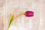 Pink Tulip Prints - Penchant Naturel - 09c3t08 Print by Variance Collections