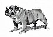 Strong Drawings Acrylic Prints - Pencil Drawing of a Bulldog Acrylic Print by Joyce Geleynse