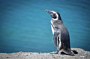 Sea Bird Photos - Penguin At Pennsula Valds by Marcos Radicella
