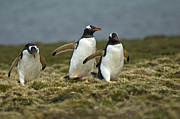 Penguins Photos - Penguin Cross Country by Mark H Roberts