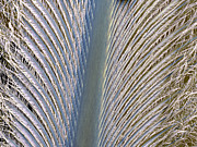 Barbs Prints - Penguin Feather, Sem Print by Steve Gschmeissner