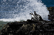 Penguins Photos - Penguin on the Rocks by Mark H Roberts