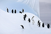 Penguins Prints - Penguins Ice Cathedral Print by Carol Walker