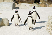 Bird Photos - Penguins On Beach by Rebecca Yale