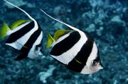 White Pennant Prints - Pennant Bannerfish Print by Dave Fleetham - Printscapes