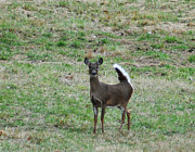 Pennsylvania Art - Pennsylvania White Tail Deer by Bill Cannon