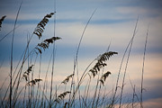 Steven Gray - Pensacola Beach Sea Oats
