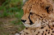Cheetah Photo Originals - Pensive Cheetah by Tess Haun