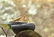 Preditor Photos - Pensive Mantis by Douglas Barnett