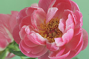 Colored Background Art - Peony by  2011 Staci Kennelly