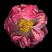 Celebrate Mixed Media - Peony A by Christian Slanec