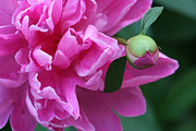 Bishop Hill Prints - Peony and Bud Print by Peg Toliver