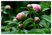 Searcy Prints - Peony Buds Print by Tanya  Searcy