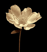 Umber Metal Prints - Peony Flower Portrait Sepia Metal Print by Jennie Marie Schell