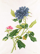 Blue Flowers Paintings - Peony by Georg Dionysius Ehret