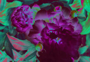 First Star Digital Art Prints - Peony Passion Print by First Star Art