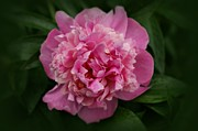Indiana Photography Framed Prints - Peony Framed Print by Sandy Keeton