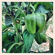 Garden Art - Peppers Love The Heat And Mine Are by Amber Flowers