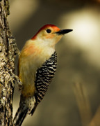 Woodpecker Art - Perched and Ready by Lana Trussell