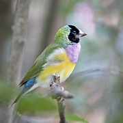 Vibrant Colors Posters - Perched Gouldian Finch Poster by Glennis Siverson