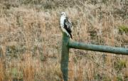 Preditor Photos - Perched Hawk by Douglas Barnett