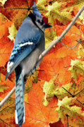 Blue Jay Picture Framed Prints - Perched In Autumn  Framed Print by Debra     Vatalaro