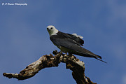 Florida Nature Photography Originals - Perched Kite by Barbara Bowen