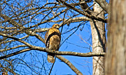 Sue Baker Art - Perched Red Shouldered Hawk by Sue Baker