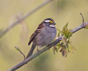 Sparrow Photo Prints - Perched White-throated Sparrow Print by Chris Hill