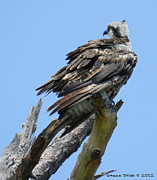 Grace Dillon - Perching Osprey
