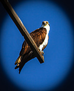 Fishers Posters - Perching Osprey Poster by Robert Bales