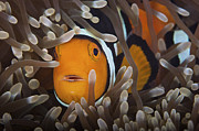 Pomacentridae Posters - Percula Clownfish In Its Host Anemone Poster by Terry Moore