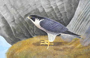 Falcon Mixed Media Originals - Peregrine by Alan Suliber