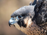 Peter Gray - Peregrine Falcon at...
