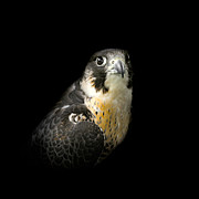 Peregrine Falcon Prints - Peregrine Falcon Print by Bill  Wakeley