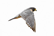 Flying Wild Bird Prints - Peregrine Falcon Bird Print by Bmse
