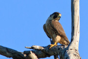 Orange County Art - Peregrine Falcon by Carl Jackson