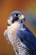 Animal Art Photo Prints - Peregrine Falcon Print by John Hyde - Printscapes