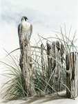 Prey Posters - Peregrine Falcon on post Poster by Dag Peterson