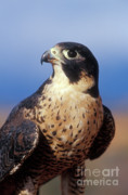 Falcon Metal Prints - Peregrine Falcon Metal Print by Sandra Bronstein