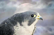 Falcon Mixed Media - Peregrine Falcon by Susan Schwarting