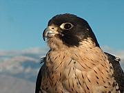 Northwoods Photos - Peregrine Falcon by Tim McCarthy