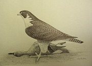 Falcon Mixed Media Originals - Peregrine Hunter by Alan Suliber