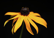 Vibrant Metal Prints - Perennial Coneflower In Bright Sunlight Metal Print by Achim Mittler, Frankfurt am Main