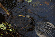 Florida Wildlife Photography Prints - Perfect Catch Print by David Lee Thompson