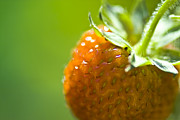 Red Fruit Photos - Perfect Fruit of Summer by Heiko Koehrer-Wagner