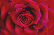 Xmas Prints - Perfect Rose Print by Joel Payne