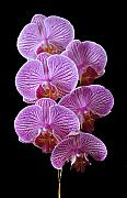 Pink Orchid Posters - Perfection Poster by Vijay Sharon Govender