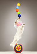 Tricks Framed Prints - Performing Dog Balancing Balls On Nose Framed Print by Karen Moskowitz