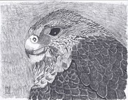 Falcon Drawings Metal Prints - Pergrine Falcon head study Metal Print by Tony  Nelson